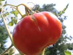 lg-tomato